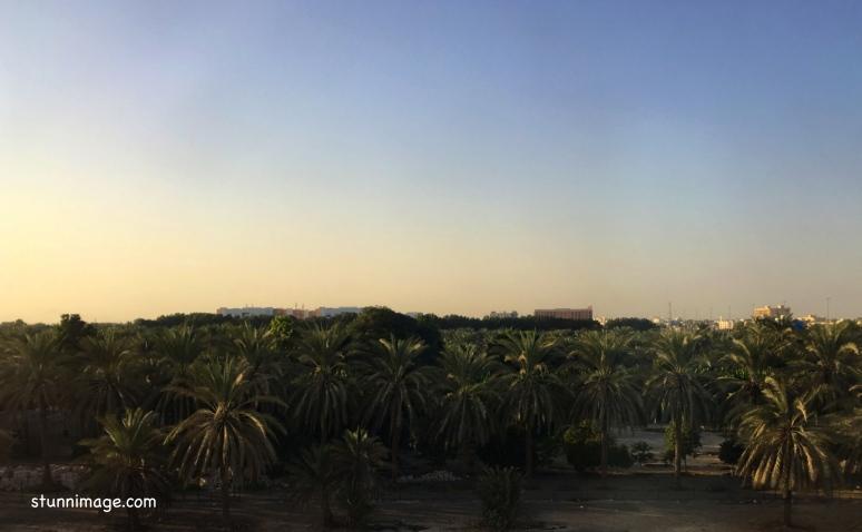 Palm trees of soha.jpg